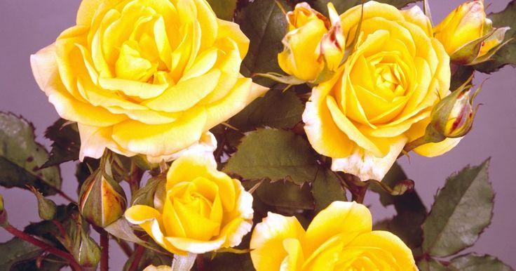 Cómo hacer que una rosa cortada dure más tiempo. Las rosas son una opción muy popular a la hora de regalar una flor. Las rosas son, además, una de las flores más hermosas y muchas de ellas liberan aromas muy agradables cuando te acercas. Al igual que con todas las flores cortadas, la duración puede ser muy corta, si no las atiendes como es debido. Si cultivas y cortas tus propias rosas, seguro ...