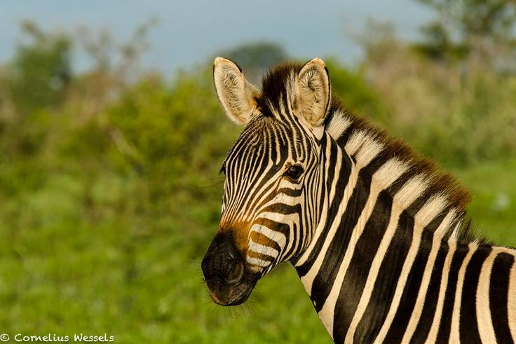 Stunning Zebra with the morning light in Madikwe game reserve Photo Credit: Cornelius Wessels