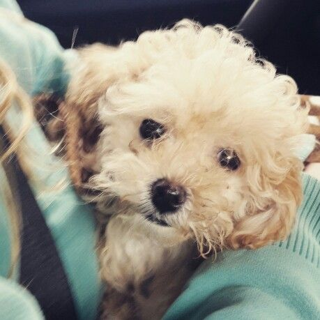 Bringing home this one today #rosieposie #maltipoo #puppy #puppylove
