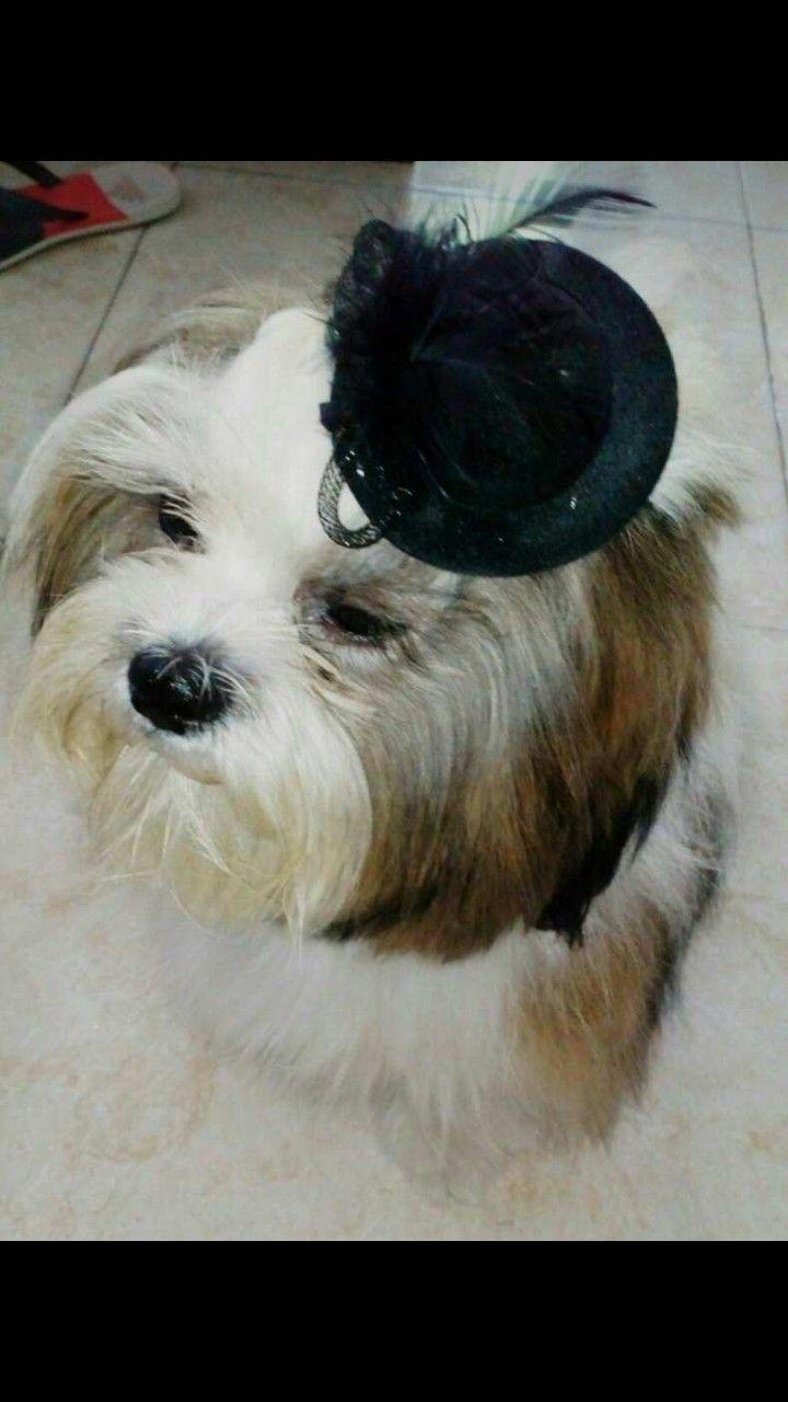 #Sombrero #Negro #Shitzu #Princesa #Hermosa