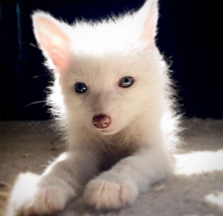 renard-blanc-mignon-domestique-17