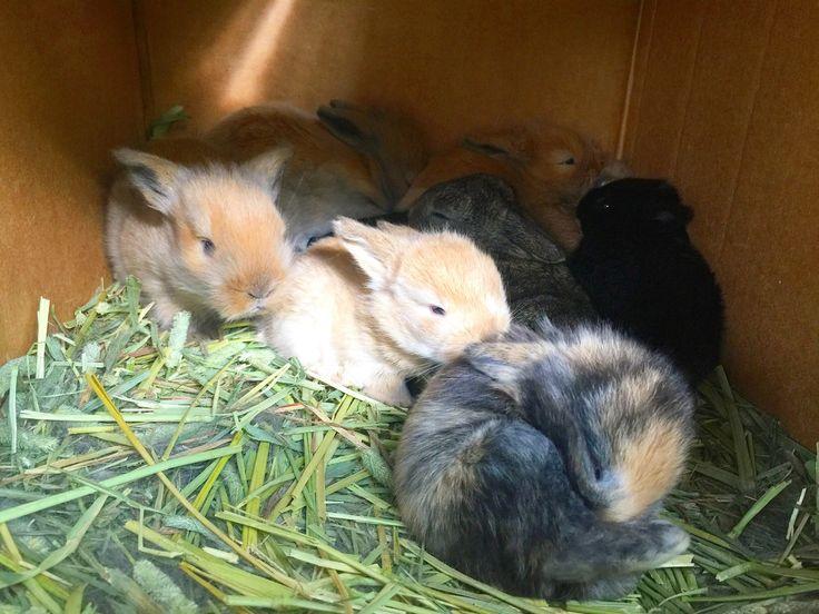 Raising baby bunnies - Lionheads & Holland Lops www.foodforayear.com