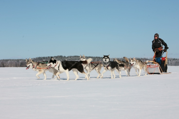 Amazing dogs and beautiful nature! These things you can experience in Vuokatti Husky :)