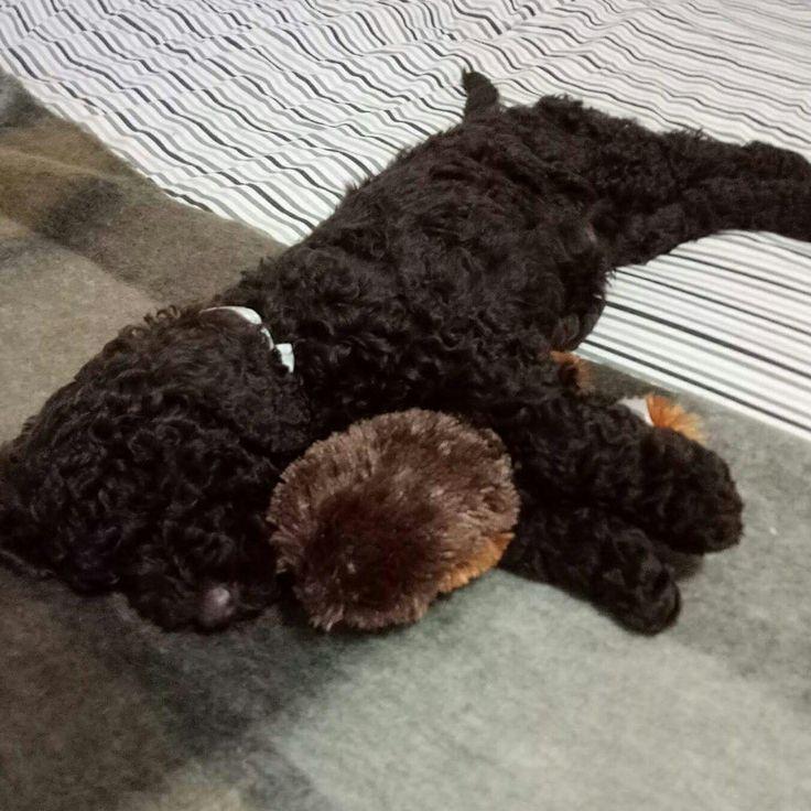 Chocolate Chewbacca Www Dunmorecandykitchen Com: Murphy The Chocolate Mini Groodle, Goldendoodle F3b Teddy