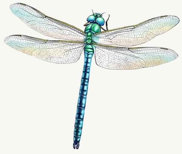 Libellule tattoo pinterest dragonfly painting - Libellule dessin ...