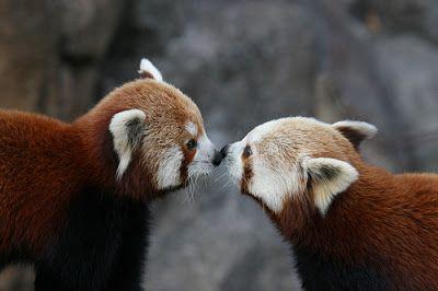 Imagenes Animales: Tierna imagen de osos pandas rojos  [29-1-17]