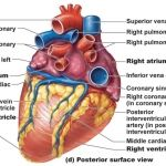 images of human heart | Continuing Medical Education