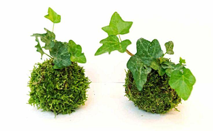 Kokedama robi błyskawiczną karierę. Nie jest nowością, pojawiła się wieki temu w Japonii, podobnie jak bonsai. Teraz popularna stała się w Europie i Ameryce, gdzie mieszkańcy ulegli fascynującej modzie i oddają się sztuce uprawy roślin w kulistych doniczkach z mchów. Efektowne kompozycje wieszają w domach, stawiają przy oknie, ozdabiają nimi tarasy i ogrody. Popularności tej sprzyja fakt, że kokedama jest sztuką znacznie łatwiejszą niż kompozycje bonsai.