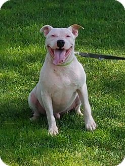 Pictures of Lincoln a Pit Bull Terrier Mix for adoption at Rescue Dogs Rock, New York, NY who needs a loving home.