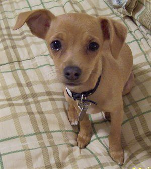 chihuahua jack russell mix
