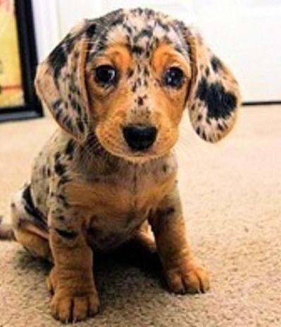 Cute Speckled Sausage Dog Puppy