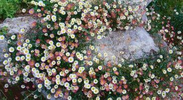 Des plantes dédiées habilleront avec élégance les enrochements ou affleurements naturels et les terrains très caillouteux.Mousse de vergerette Erigeron karvinskianus se contente d'un rien pour pousser dans un mur de pierres sèches, les marches d'un escalier, les interstices de dallage où il se répand par semis naturel.Autre suggestion : Mariez-les aux hélianthèmes. Vous en trouverez de nombreuses variétés unies ou à cocardes, simples ou doubles, à feuilles vertes ou grises. Prenez soin de…