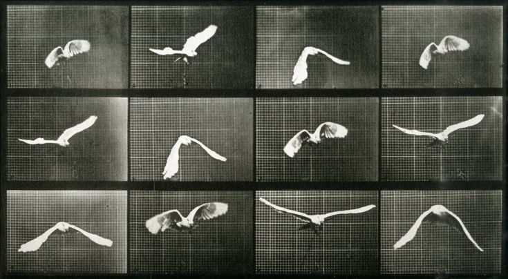 Eadweard Muybridge - Sequence of bird in flight (1883 - 86)    http://spaceframed.blogspot.ro/2011/02/eadweard-muybridge-sequence-of-bird-in.html