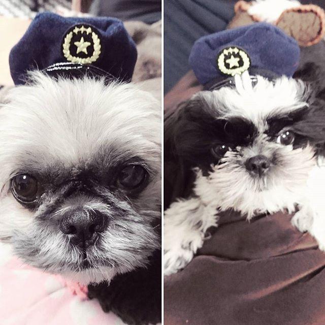 #シーズー#犬#愛犬#家族#むーちゃん#グッちゃん#コスプレ#ポリス#犬のおまわりさん#ガチャガチャ#300円#かわいい#japan#shihtzu#dog#family#police#ペットネット