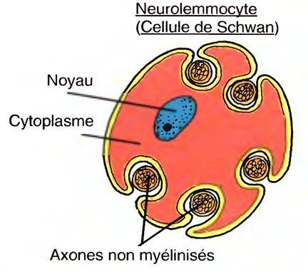 Myelinisaatio