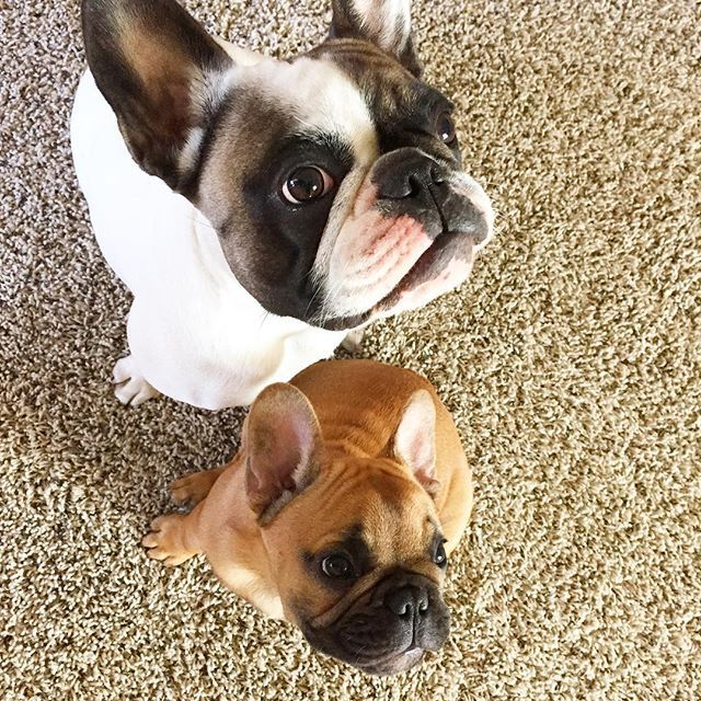 """When is Spring Break?""  Huck and Gus, French Bulldogs on instagram"