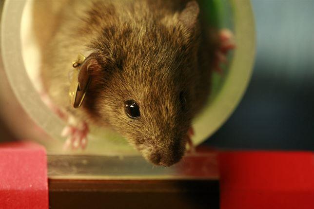Una inyección normaliza los niveles de azúcar en ratones con diabetes | Más información en http://blog.clinicasrincon.com/una-inyeccion-normaliza-los-niveles-de-azucar-en-ratones-con-diabetes/
