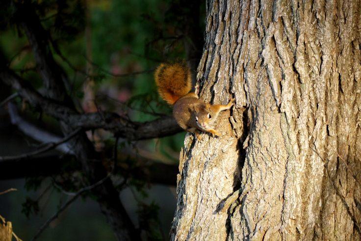 Red Squirrel, Canadian shield. longwkd.com