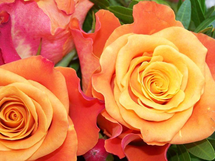 Hola, soy fanática de las rosas y he tratado de tenerlas en el macetero de mi balcón que es bastante amplio y al comienzo me fue muy bien pero luego le dieron todas las plagas de egipto juntas hasta que decidí aprender un poco más de rosas y esperar...