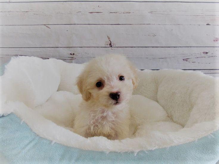 Maltipoo puppy for sale in LA MIRADA, CA. ADN-47089 on PuppyFinder.com Gender: Female. Age: 12 Weeks Old