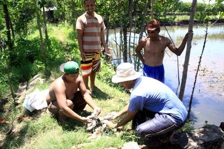 Petambak mengupulkan ikan yang mati