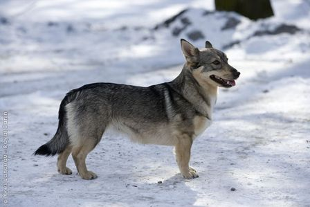 The Vikings also used dogs to herd cattle. One of this type was the Swedish Vallhund, also known as Västgötaspets, which are still bred today. The Vallhund dates back to the 500's in Sweden. The Vallhund looks like its close relative, the Welsh Corgi, and it is unknown whether the Vallhund is the ancestor of the Corgi or vice versa.