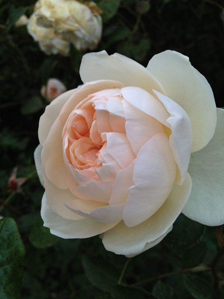 'Lichfield Angel' | Shrub. English Rose Collection. David C. H. Austin, 2005 | Flickr - © Kiri Wood
