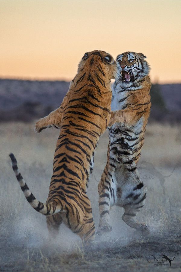 ~~little fight ~ Tigers (panthera tigris) by Marion Vollborn~~