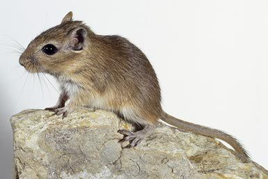 Gerbils as Pets - Care Guide and Suggested Reading