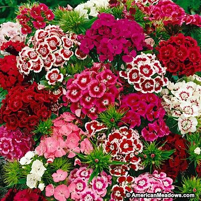 Pink and Red and White Sweet William Seeds, Dianthus barbatus, Sweet William