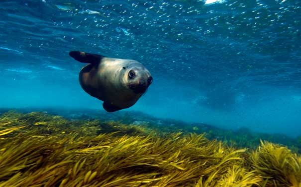 Diving in the greatest fur seal colony in country