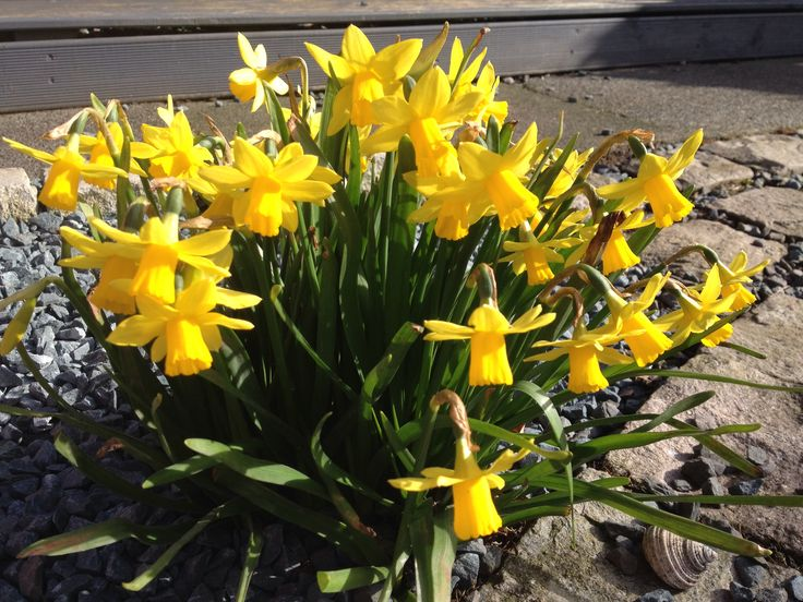 Tiny daffs in the sunshine