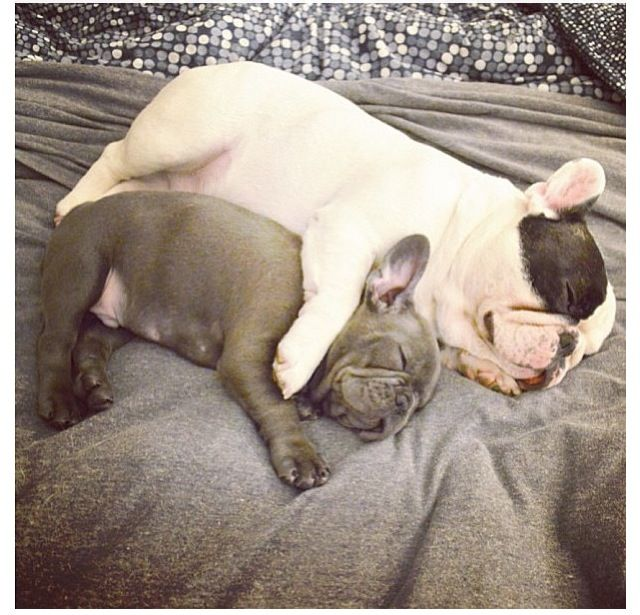 My fur babies @Manny P The Frenchie and Frank napping together.
