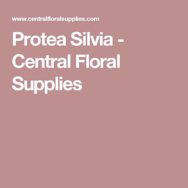 Protea Silvia - Central Floral Supplies