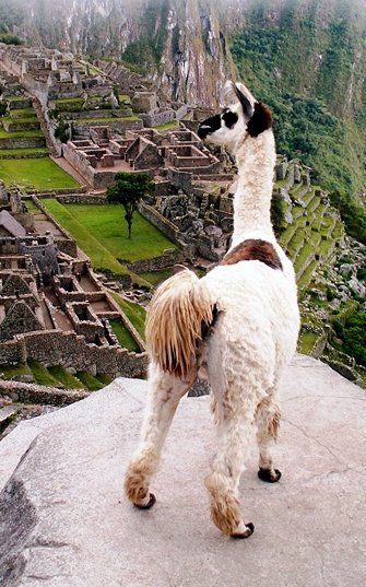 """Hey, Where'd everybody go?"", said the Llama overlooking Machu Picchu, Peru."