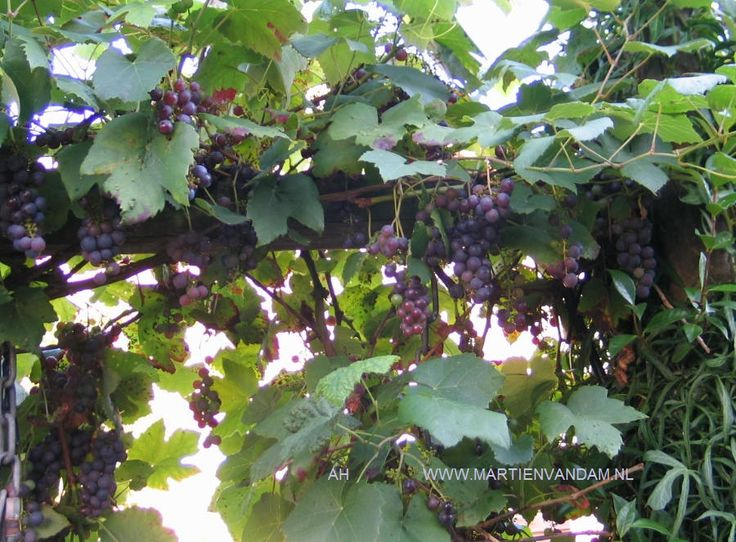 Vitis – druif, de bekendste is 'Boskoops Glorie', bijzonder goed in ons klimaat, de vruchten zijn donkerblauw rijpend in sept.-okt., hoe later de oogst des te zoeter de vrucht…