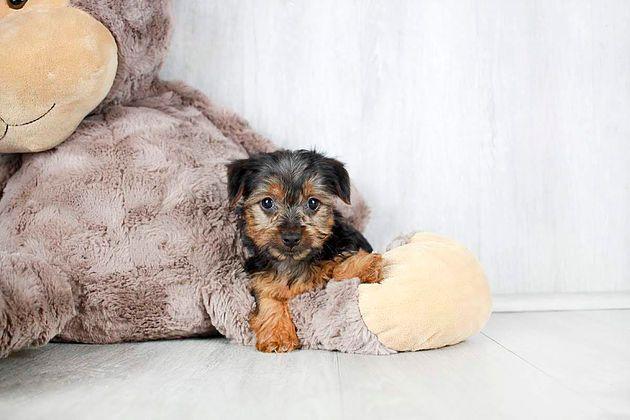 Puppies For Sale Columbus Ohio Sunrise Pups Small Breed Puppies Puppies Puppies For Sale Breeds