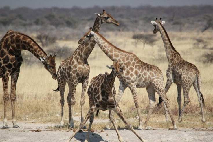 Giraffes at a drinking hole - Namibia