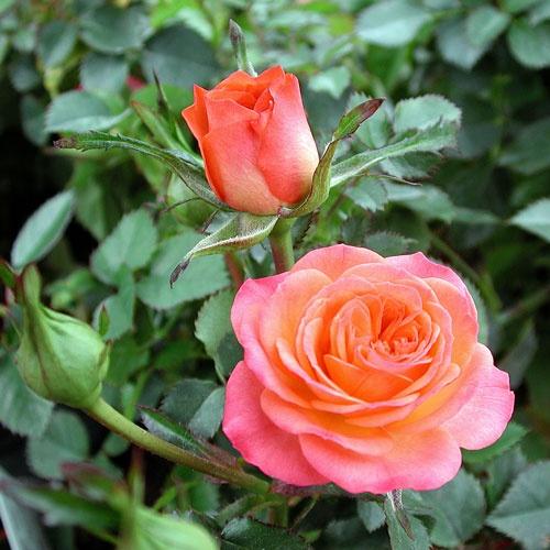 1000 images about roses on pinterest gardens scarlet and shrub roses - Rose cultivars garden ...