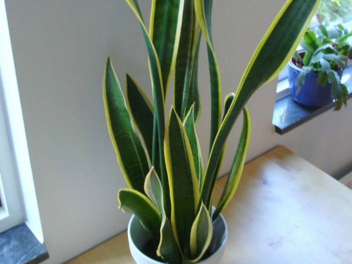 Sansevieria trifasciata - Snake Plant