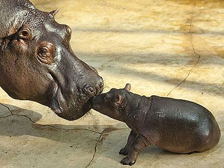 Baby Animals Kissing | ... ! Baby Calf Gives Mom a Kiss - Baby Animals, Zoo Animals : People.com
