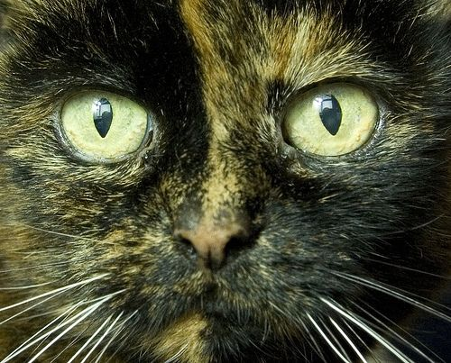 88 best images about my tortie is the best on Pinterest ...