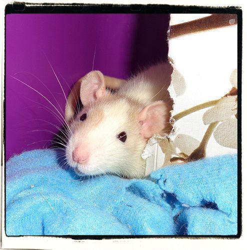 Perpetually sneezing rat.?
