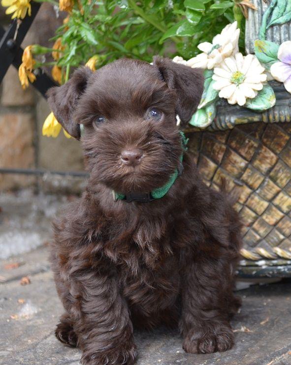 Great Chocolate Brown Adorable Dog - 1902eea3f91afb398a2e0a7ff2b6456f--toy-schnauzer-miniature-schnauzer-puppies  2018_386739  .jpg
