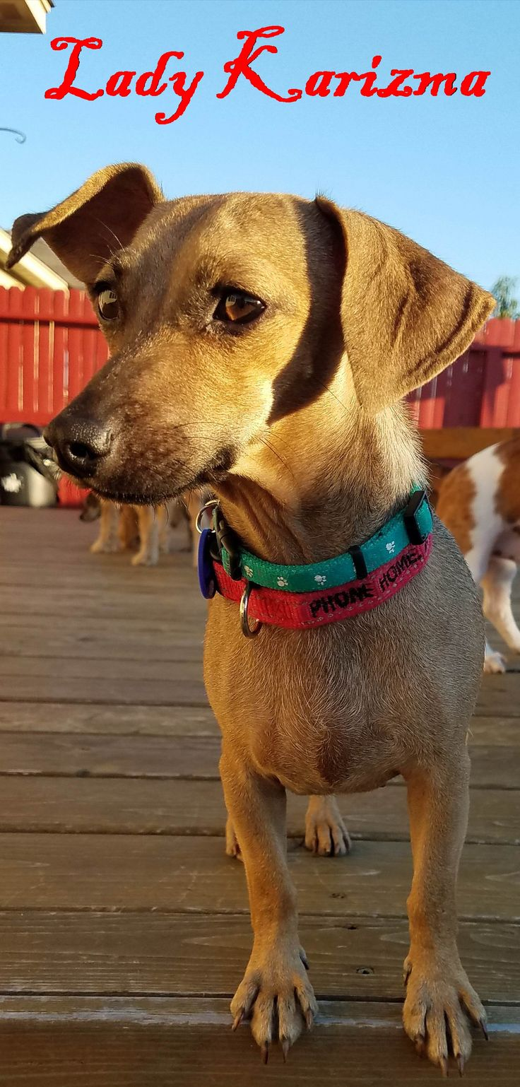 Dachshund dog for Adoption in San Antonio, TX. ADN-557029 on PuppyFinder.com Gender: Female. Age: Young