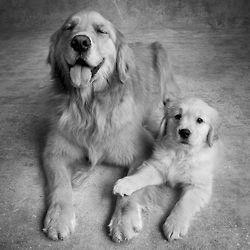 Golden Retriever family portrait