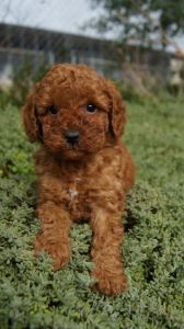 Poodle puppies for sale - Pines Pets