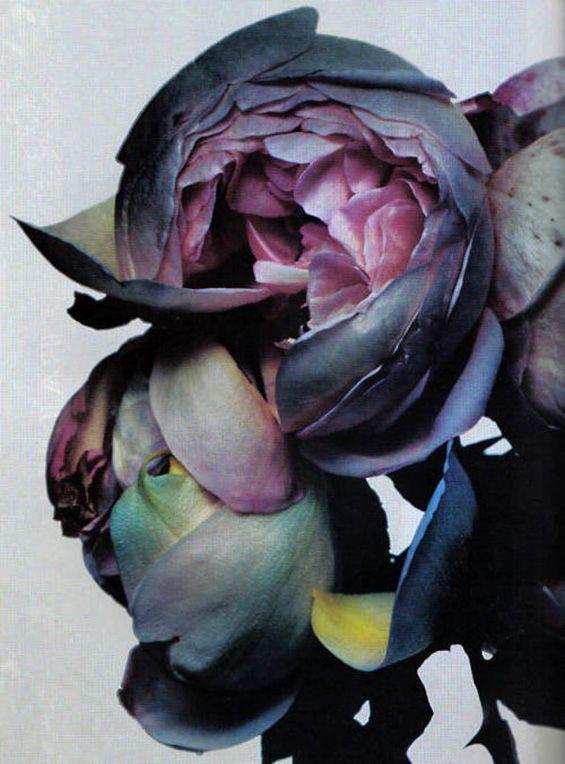 aubergine coloured roses