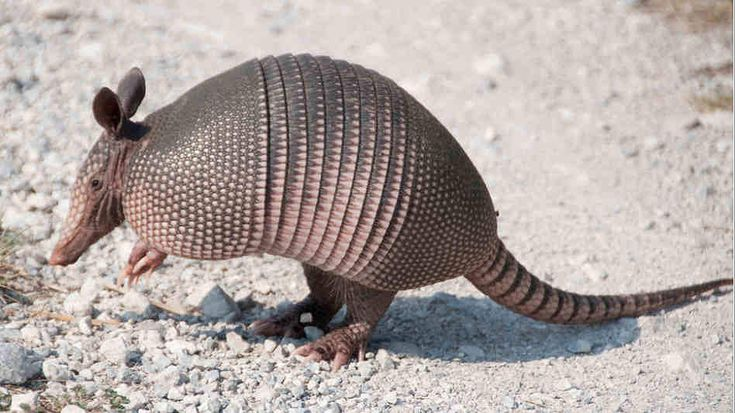 Armadillo are more active dreamers than Humans  REM sleep and the ability to dream seem to be embedded in the biology of many animals in addition to humans. Scientific research suggests that all mammals experience REM. Dolphins experience minimal REM while humans are in the middle of the scale and the armadillo and the opossum are among the most prolific dreamers judging from their REM patterns!  #animals #images #armadillo #dolphin #dreaming #REM sleep