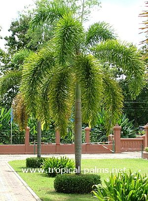 Love this Palm? I have seen it around my neighborhood  but was not able to find it in any nursery.  Wodyetia bifurcata - foxtail palm